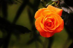 rose-1503881_640